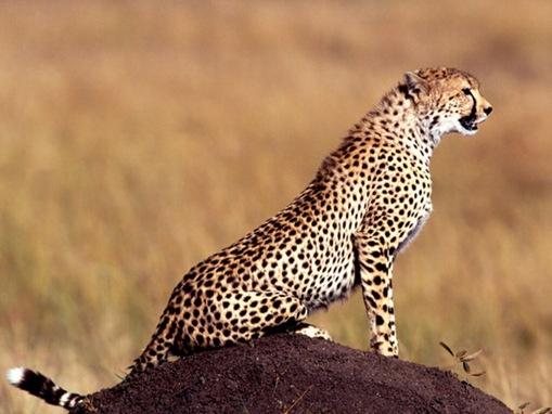 The 7 Big Cat Species_www.wonders-world.com_1166080774