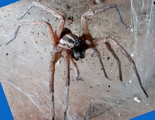 Large Sac Spider