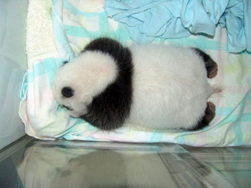 Process of Baby Panda Growing 14