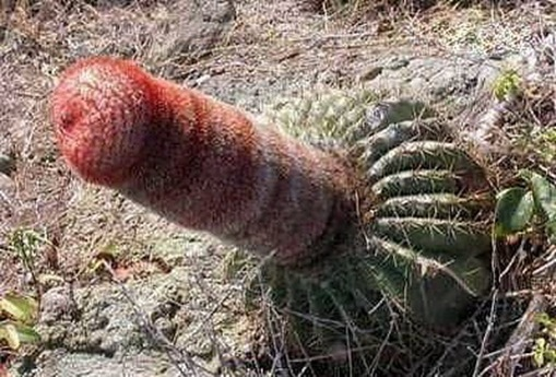 Most Suggestive Cacti On Earth 284