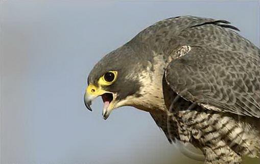 2040 Peregrine Falcon