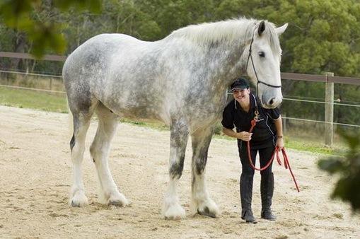 largest-horse