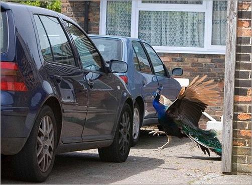 animals-attacking-cars-12