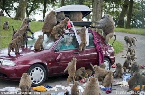 animals-attacking-cars-21