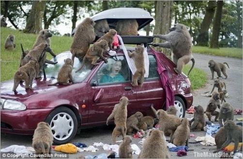 animals-attacking-cars-21