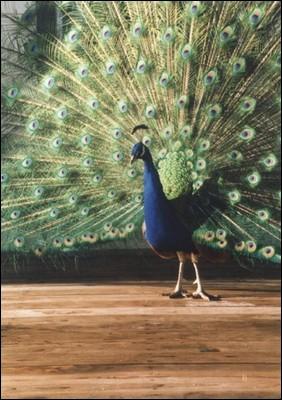 Peacock at Krishna Temple