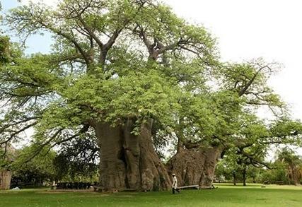 baobab-bar-curioso3