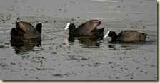 Common_Coot