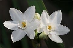 Narcissus-2