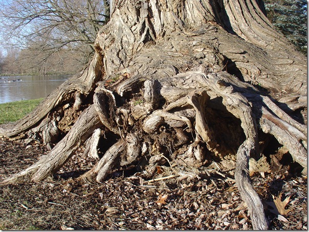Willow roots