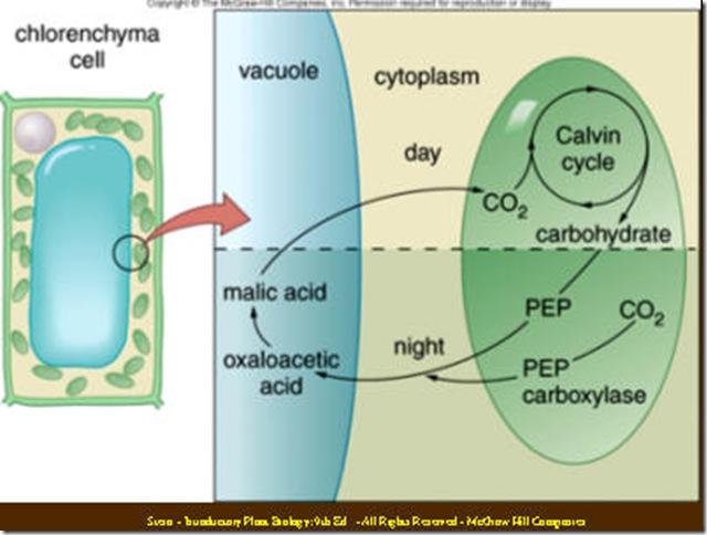 Bio-serendipity: C3 C4 CAM 植...