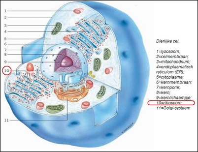 ribosoom1
