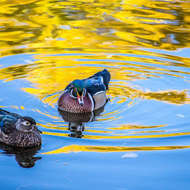 Fall Reflections by Coleen Sullivan - Animals Other ( north american, water, wood, autumn, colorful, blue, wood duck, serene, fall, lake, yellow, pond )