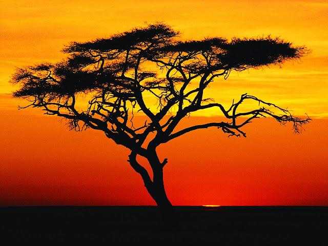 Paysages divers - Partie 1 Acacia%20Tree%20at%20Sunset%2C%20Africa