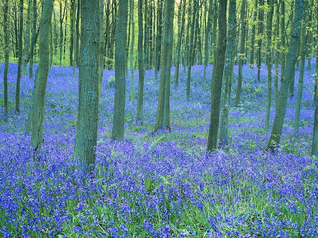 Bluebells%20in%20the%20Forest