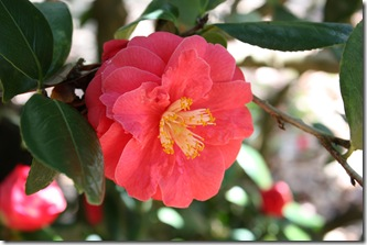 Camellia Pink 6