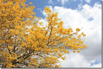 Yellow Trumpet Tree 3
