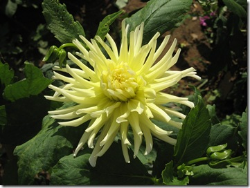 Dahlia Yellow spike