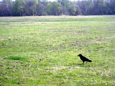 Crow on Wimbledon Common in London