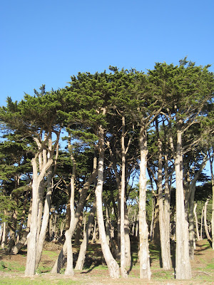 Trees at Land's End in The Richmond in San Francisco