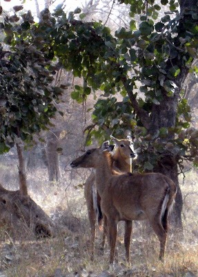 Deer in Ranthambore National Park in India