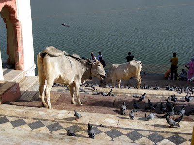 Cows by the lake in Pushkar