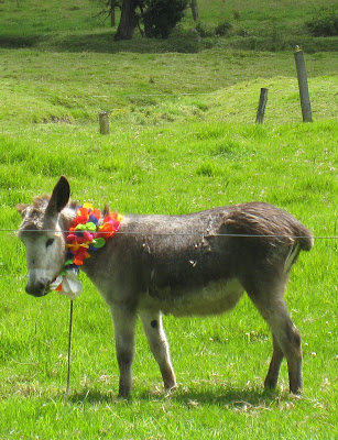 Donkey in a field for a Colombian wedding