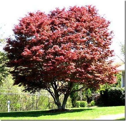 Acer palmatum acer o arce japon s agroguia - Arce arbol variedades ...