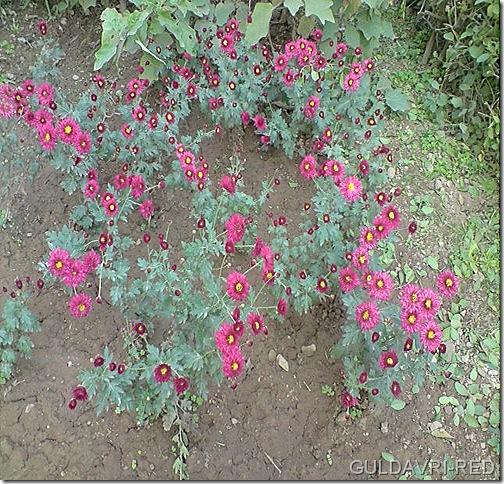 guldavri-red variety