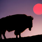 Bison Silhouetted at Sunrise, Yellowstone National Park, Wyoming.jpg