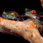 Best Buddies, Red-Eyed Tree Frogs.jpg