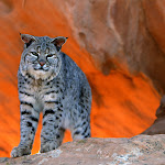 Bobcat, Utah.jpg