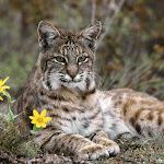 Bobcat, Montana.jpg