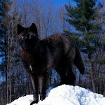 Black Wolf in Snow.jpg