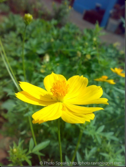 yellow_flower1