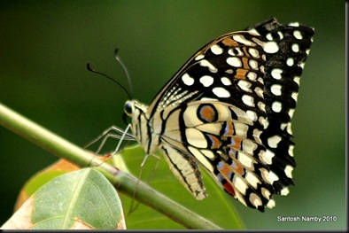 Common Lime Butterfly (Papilio demoleus)