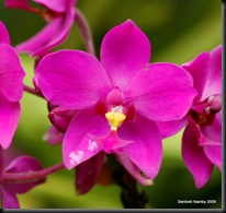 Purple Orchid2