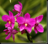 Purple Orchid1