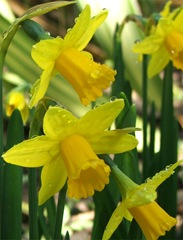 daffodils-small-yellow