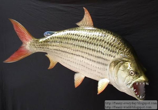 goliath tiger fish. Goliath Tigerfish