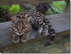 margay-tiger-cat-5