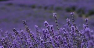 1 lavendar 3