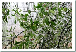 Ice on English Holly Bush