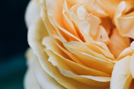 [菲林]花的姿態