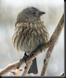 Cold_finch_by_flowersdaughter