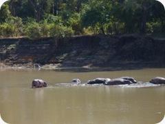 Hippos Luangua (59)