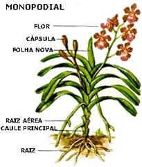 orqudea monopodial