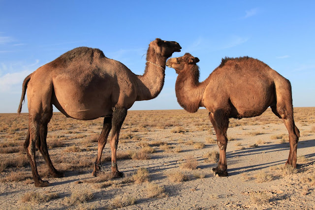 Asian Camels.jpg
