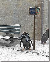 freddo pinguino!