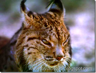 Lince_G